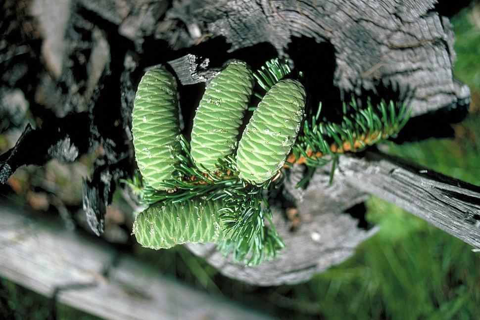 Abies grandis cones