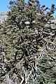 Abies pinsapo (Spanish fir) Pinsapo de la Escalereta.jpg