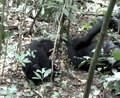 File:Able-Bodied-Wild-Chimpanzees-Imitate-a-Motor-Procedure-Used-by-a-Disabled-Individual-to-Overcome-pone.0011959.s010.ogv