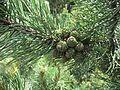 Abnormal pine cones.jpg