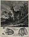 Above, a stag coming out of the forest on to a clearing, bel Wellcome V0021100.jpg