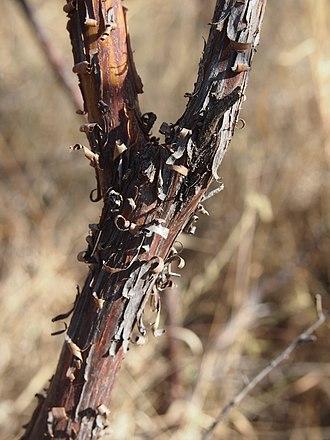 Acacia lysiphloia - Acacia lysiphloia bark