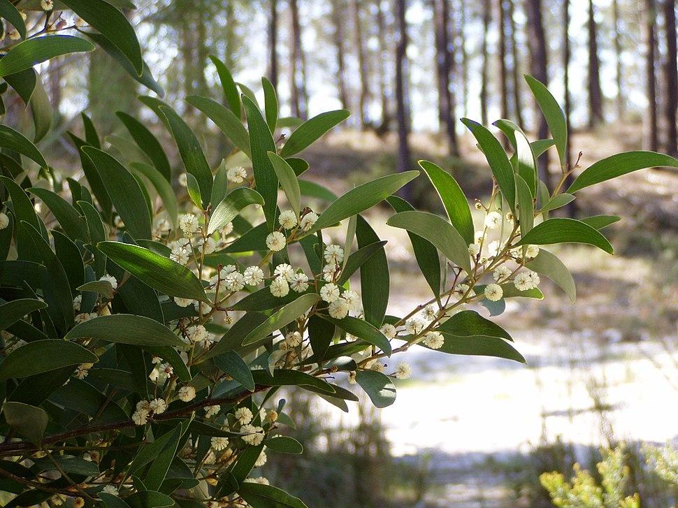 Póla en flor de acacia negra