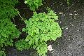 Acer barbinerve foliage.jpg