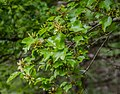 Acer buergerianum ssp. ningpoense in Hackfalls Arboretum (3).jpg