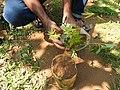 Acer palmatum-1-shevaroy nursery-yercaud-salem-India.jpg