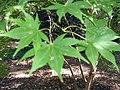Acer palmatum amoemum 3zz.jpg