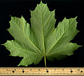 Acer platanoides leaf - 10.5 inches.jpg