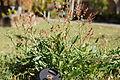 Acetosella vulgaris plant5 (11507938126).jpg