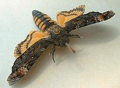 Acherontia atropos03.jpg