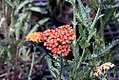 Achillea millefolium Fireland 2zz.jpg
