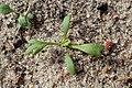 Achillea millefolium kz03.jpg