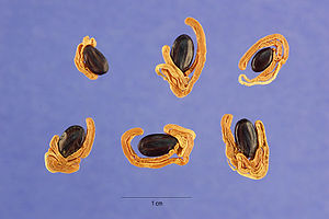 Acacia melanoxylon - Acacia melanoxylon R. Br. ex Ait. f. seeds