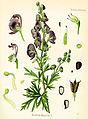 Aconitum napellus (Köhler).jpg