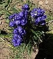 Aconitum napellus inflorescence (49).jpg