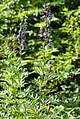 Aconitum napellus plant (02).jpg