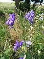 Aconitum variegatum subsp. variegatum sl53.jpg