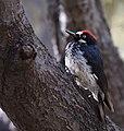 Acorn Woodpecker (33928219591).jpg