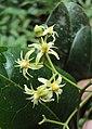 Acronychia pedunculata flowers 02.JPG