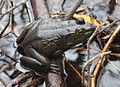 Adirondacks - Northern Green Frog - 01.JPG