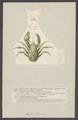 Aeglea laevis - - Print - Iconographia Zoologica - Special Collections University of Amsterdam - UBAINV0274 006 02 0013.tif