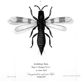 Aeolothripidae family of insects