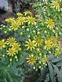 Aeonium arboreum4.jpg