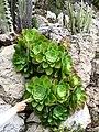 Aeonium canariense Monaco.jpg