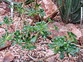 Aeonium lindleyi (Sukkulentensammlung).jpg