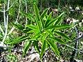 Aesculus californica-1.jpg