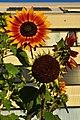 Affoltern - Helianthus annuus 2011-08-28 19-45-20.jpg