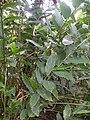 Aframomum zambesiacum foliage.JPG