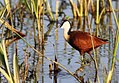 African Jacana, actophilornis africanus - sunrise in the reeds, Kruger Park.jpg