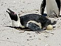 African Penguin laying an egg.jpg