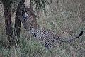 African leopard (Panthera pardus pardus) - Flickr - Lip Kee.jpg