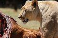 African lion, Panthera leo feeding at Krugersdorp Game Park, South Africa (30071172845).jpg
