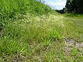 Agrostis avenacea habit3 (8236279442).jpg
