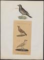 Alauda arvensis - 1700-1880 - Print - Iconographia Zoologica - Special Collections University of Amsterdam - UBA01 IZ16100319.tif
