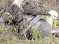 Albatross birds - Espanola - Hood - Galapagos Islands - Ecuador (4870991357).jpg