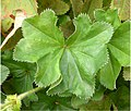 Alchemilla acutiloba leaf (12).jpg