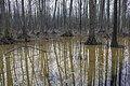 Alder carr 02(js), Biebrza National Park (Poland).jpg