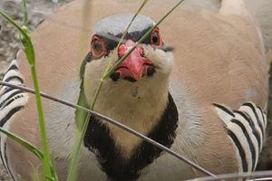 Chukar partridge - Alectoris chukar