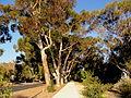Allée d'eucalyptus Kings Park.JPG