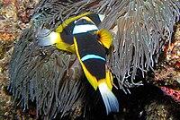 Allard's clownfish, Amphiprion allardi