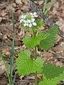 Alliaria petiolata 129115521.jpg
