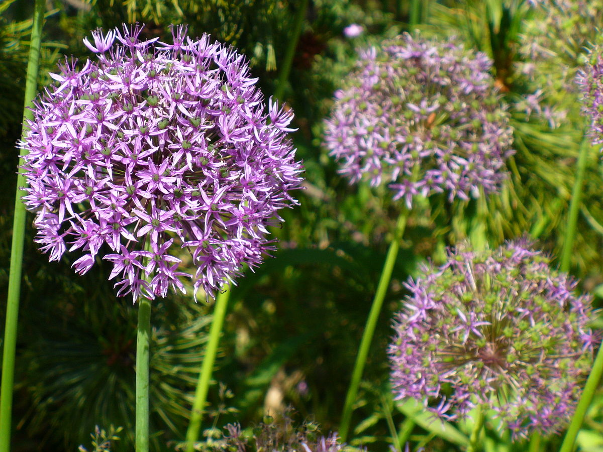 Allium aflatunense wikipedia la enciclopedia libre for Significado de ornamental wikipedia