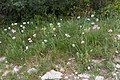 Allium roseum-Ail rose-20150422.jpg