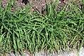 Allium tuberosum 2zz.jpg