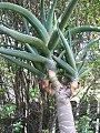 Aloe bainesii Dyer (AM AK303512-3).jpg