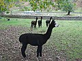 Alpacas at Ettrickhill House - geograph.org.uk - 1547622.jpg